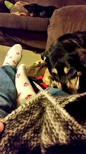 #DogMomsWhoKnit #Knitting #seniordog #rescueddog #houndmix #LapdogCreations ©LapdogCreations