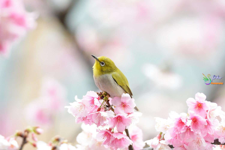 Sakura_White-eye_8194