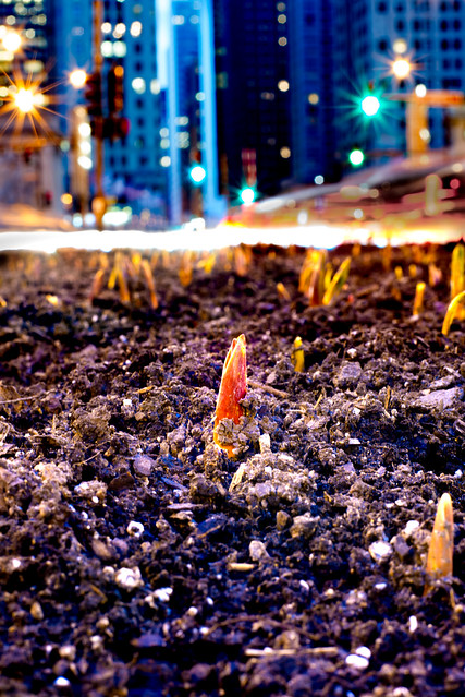 Traffic zips behind growing red tulips