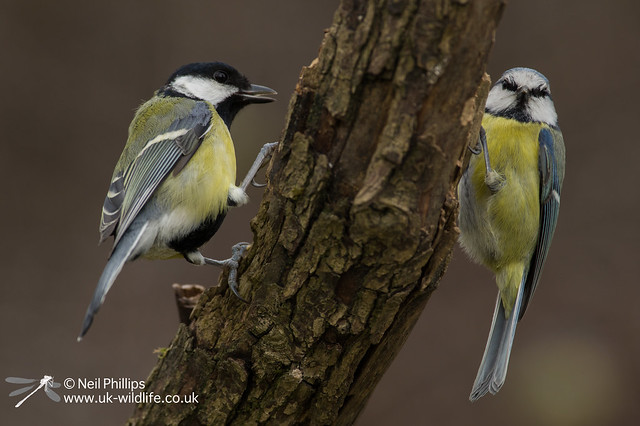Great tit + blue tit