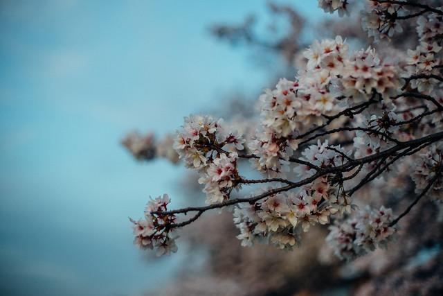 CherryBlossoms_408