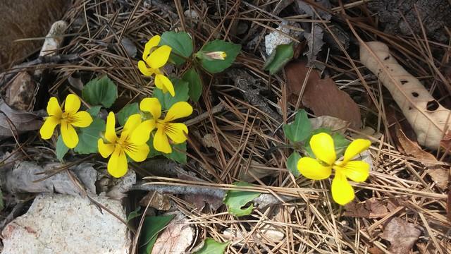 아침산책길: 도장산 - 노랑제비꽃