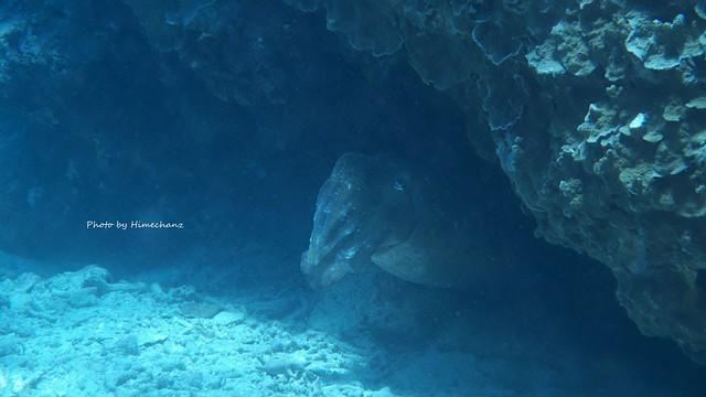 コブシメ産卵床すぐ側に船を止めてて、エンジンかかった瞬間産卵をやめて岩陰に隠れました。。