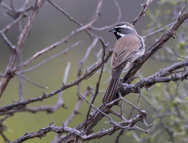 Black-throated Sparrow 4-7D2-160416
