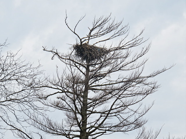 Bald Eagle in nest 20160420