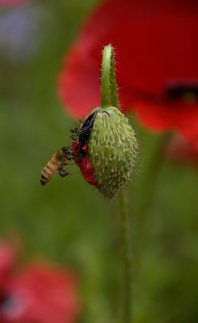 a bee on a red poppy