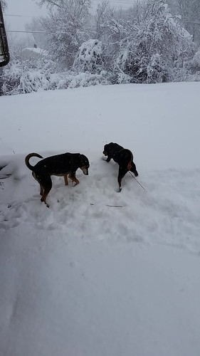 Penny & Teutul playing as the snow falls 2.5.16