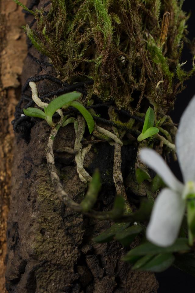 Miniatur-Orchideen Teil 3 - Seite 6 25265278830_3b056a1e8b_b