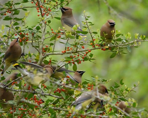 Cedar Waxwings Feeding on Yaupon Berries