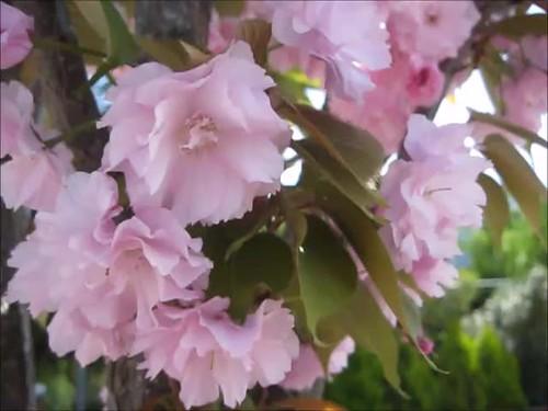 Zeugma- Sakura Time