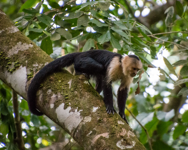 White-throated Capuchin monkey