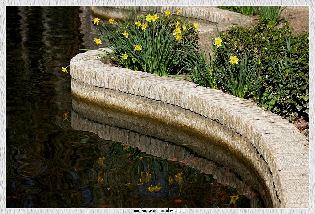 narcisos junto al estanque