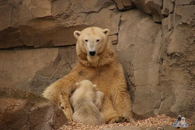 Eisbär Lili im Zoo am Meer Bremerhaven 10.04.2016 Teil 1 27