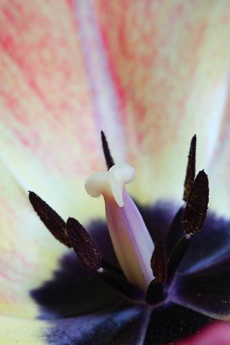 A Tulip's Secret II (SOTC 194/365)
