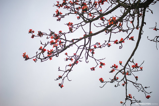 Blossom of the Red Silk Cotton Tree - The Latin name is Bombax Ceiba, and it is a popular ornamental tree found in East and South Asia