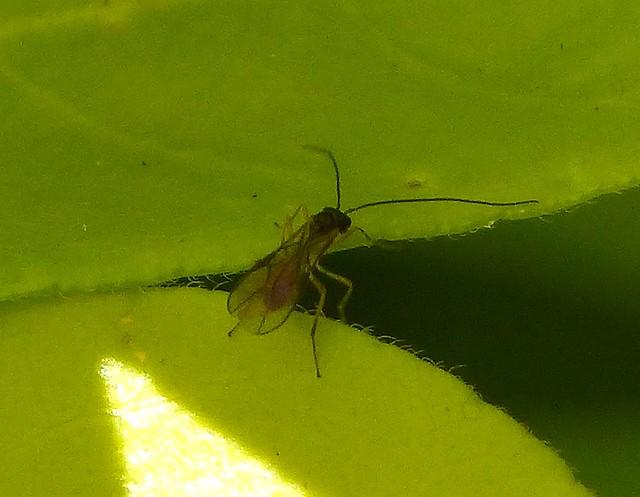 Header of Braconidae