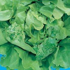 lettuces-0016