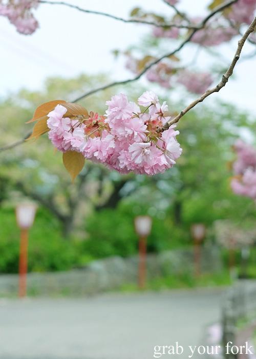 Sakura cherry blossoms at Matsumae Castle in Hokkaido, Japan