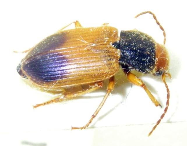 Diachromus germanus 24473514411_7a1f6af156_o