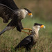 Crested Caracaras by ChristinaLEvans