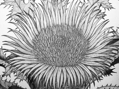 Flore Médicale Décrite: Sunflower Macro
