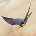 Peregrine Falcon by sharp shooter2011