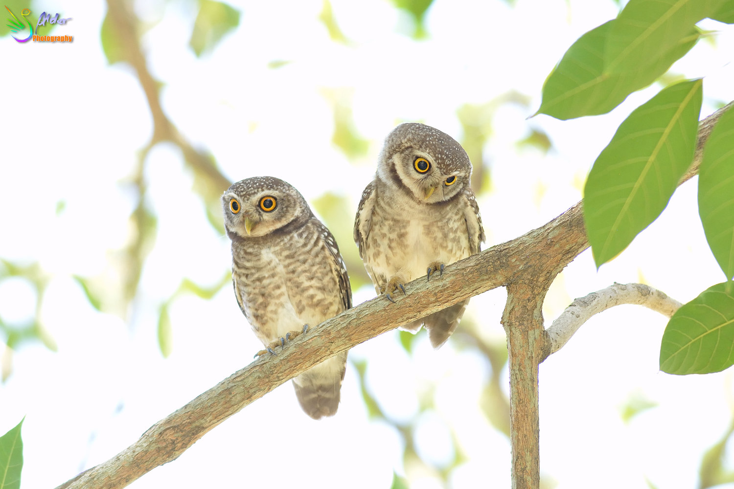 Spotted_Owlet_2841