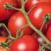 Tomaten / Tomatoes