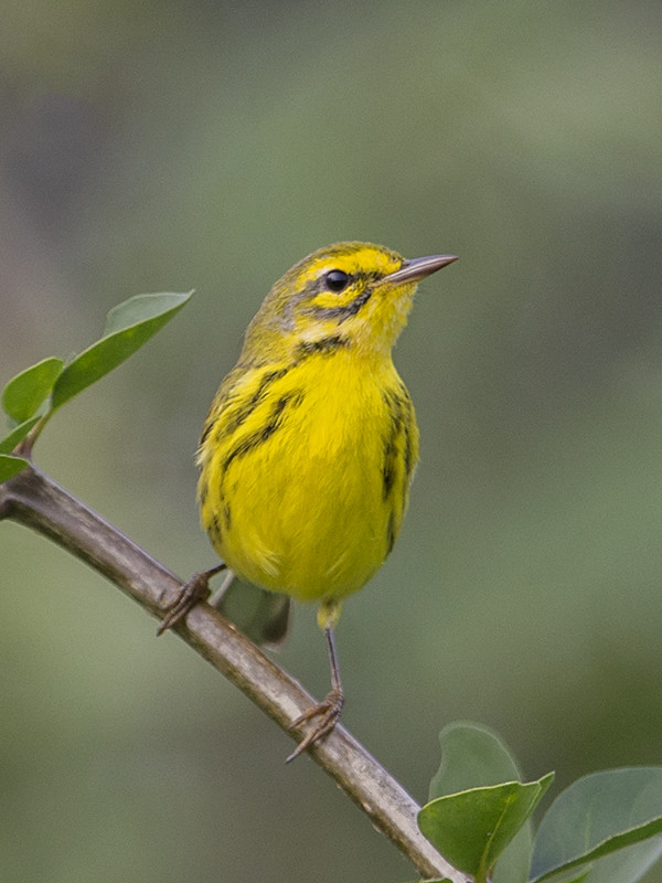 Prairie Warbler  Cuba