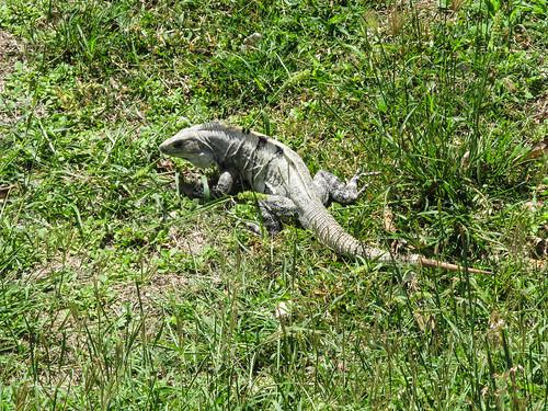 Uxmal: un iguane