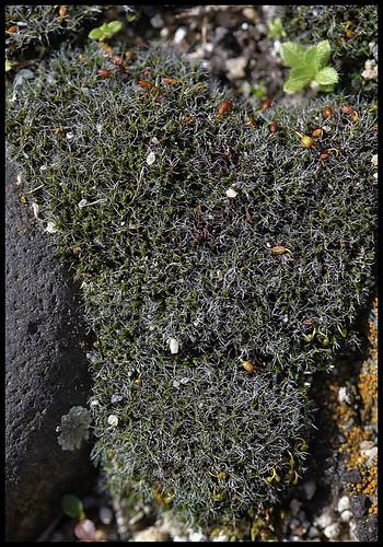 Grimmia (5)