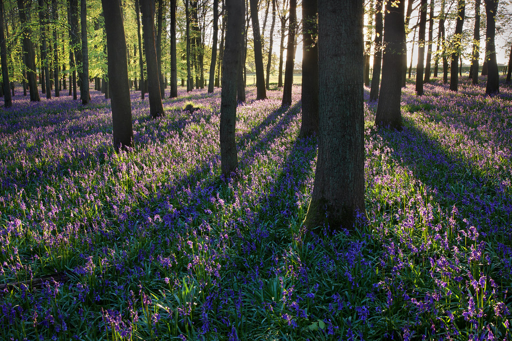 Bluebells in Evening, Dockey Wood