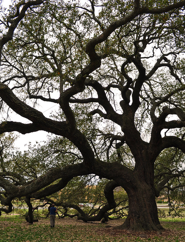 The Emancipation Oak (Quercus virginiana) (5)