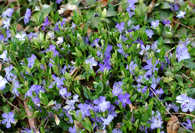 Periwinkle flowers by Eve Fox, the Garden of Eating, copyright 2016