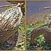 Mallard Female by secondcello