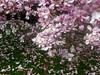 Magnolien in Stuttgart