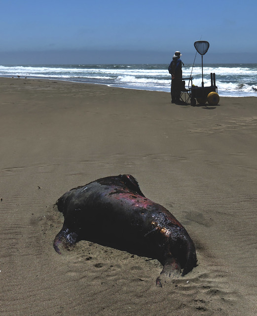 Dead Sea Lion Carcass and Fisherman on Ocean Beach, San Francisco (2015)