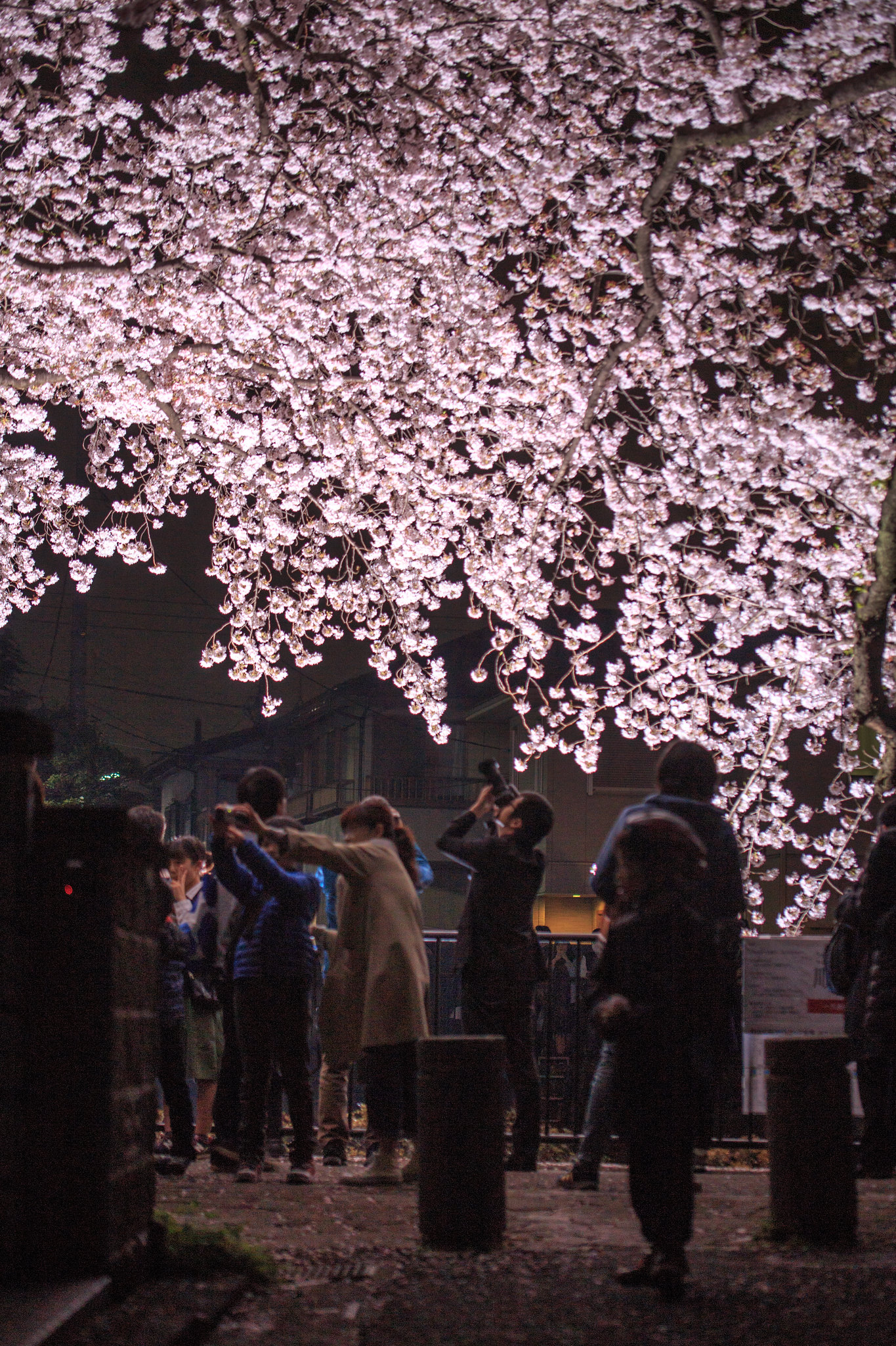 2016-04-05 野川桜ライトアップ 001-18