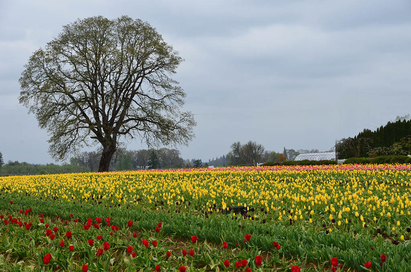 wooden-shoe-tulip-festival