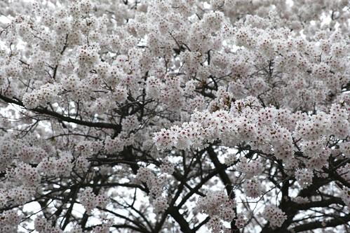 full bloom!  (SIGMA DP3 Merrill)