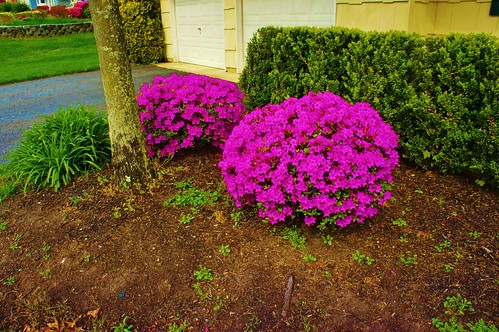 At Home: Azaleas