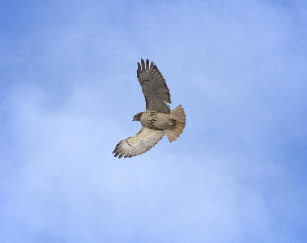 Adult LES red-tail