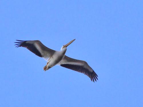 American White Pelican HDR 20160202