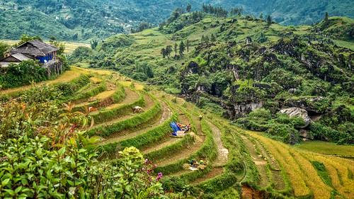 Harvesting rice in Ta Phin village