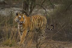 King! From Ranthambhore National Park 2014