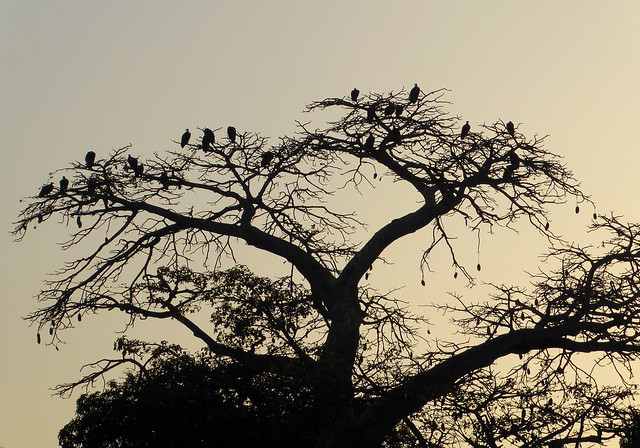 Big Baobab tree packed with vultures (hooded vultures), the Gambia