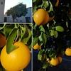 Oranges a la Tucson.