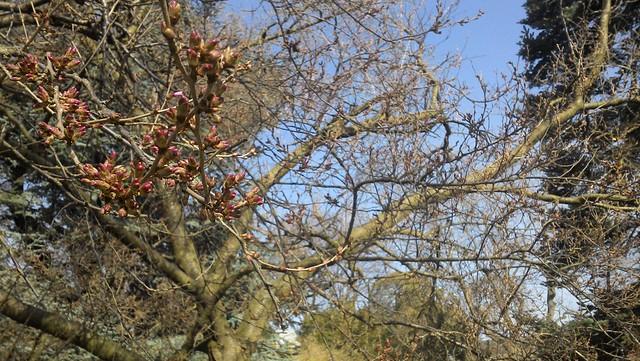 Prunus subhirtella buds
