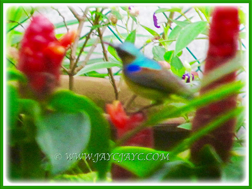 Sunbird just love the nectar plants at our front yard, Jan 16 2016