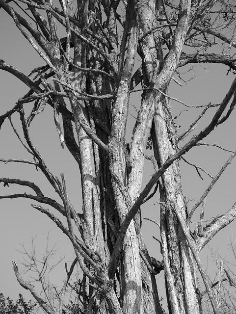 Troncs d'un arbre mort 25795013132_7b6a9fc1b2_z